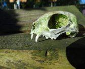 Workshop dierenschedels met schedelspecialist in O.B.S. De Beelen